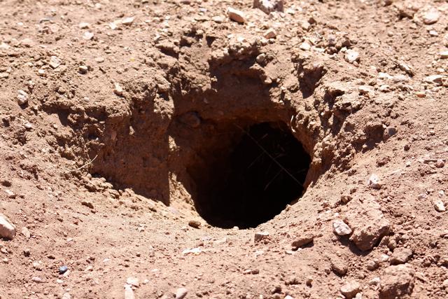 Healthy burrow 1