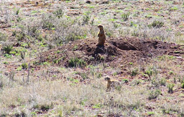 P-dog on mound 1